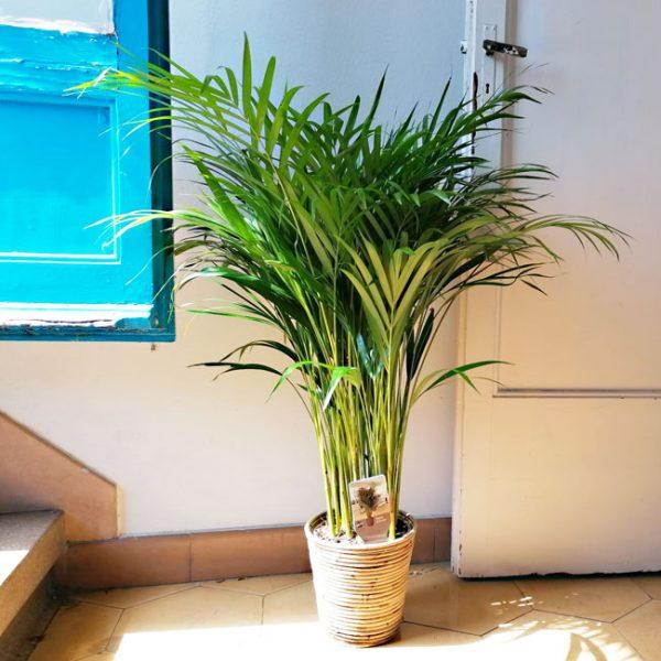 achetre-palmier-arcea-barcelone