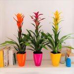 plante-bromelia-domicile
