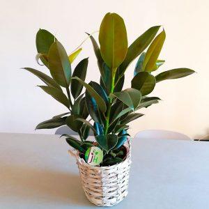plante-ficus-caoutcouc