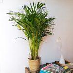 plante-palmier-areca