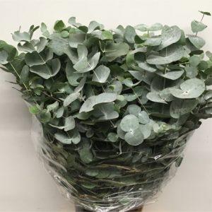 eucalyptus-barcelone