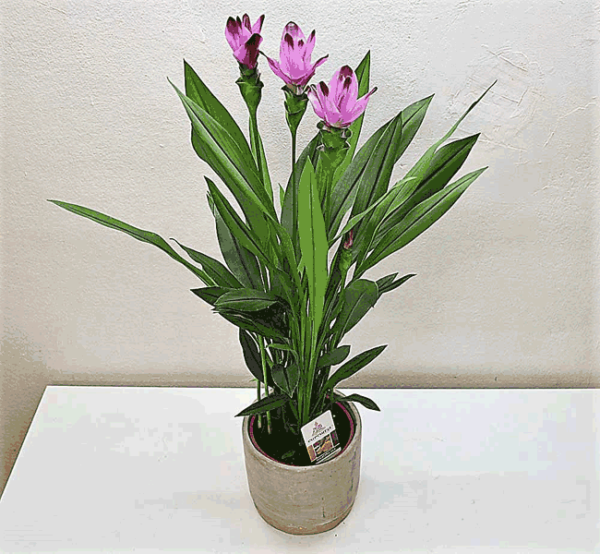 plante-curcuma-barcelone