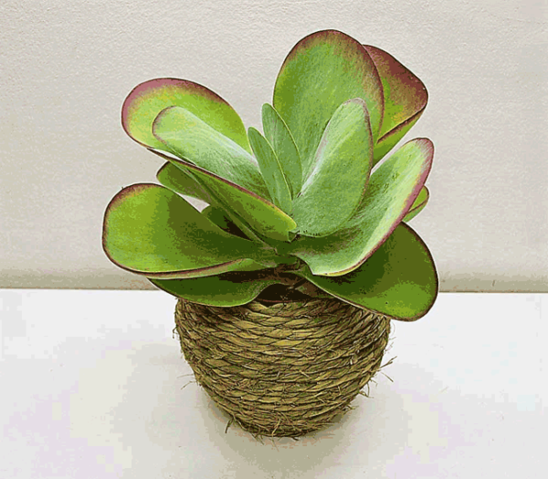 plante-kalanchoe-barcelone