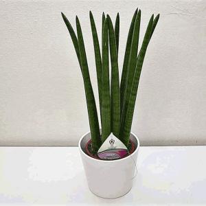 plante-sansieveria-cylindrica