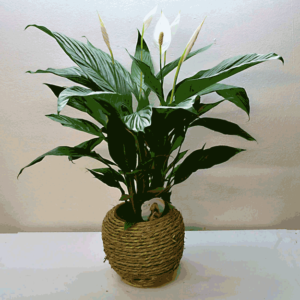 plante-spathiphillium-barcelona