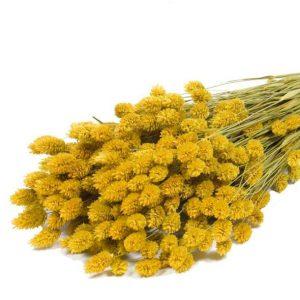 phalaris-jaune