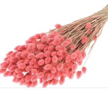phalaris-rose