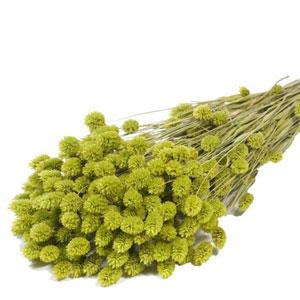 phalaris-vert