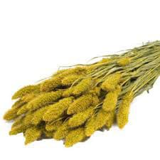 setaria-amarilla