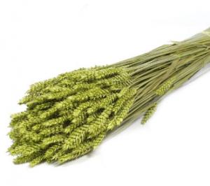 trigo-seco-verde