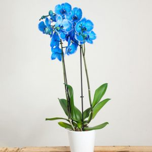 orchidee bleue