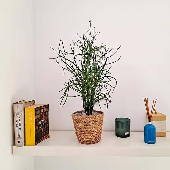cactus-tirucalli-barcelone