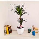 marginata-plante-barcelone